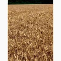 Озима пшениця ЗЕМЛЯЧКА ОДЕСЬКА (еліта)