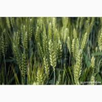 Куплю пшеницю 2, 3, 4-6 кл, ячмінь, ріпак, кукурудзу