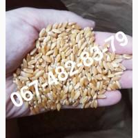 ALMA - Мягкий канадский трансгенный озимый сорт (элита) пшеницы