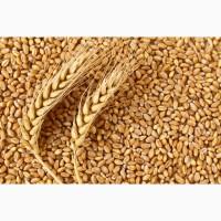 Закупаем зерновые, масличные. Ячмень, пшеницу, подсолнечник