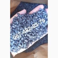 Семена подcолнечника MADOC канадский трансгенный гибрид 440 грн/кг