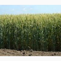 Пропоную купити насіння озимої пшениці сорту Подолянка 1-Репродукція