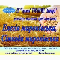 Пропонуємо насіння ярої пшениці Елегія миронівська, Сімкода миронівська