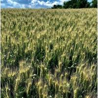 Озима пшениця Вінок Поділля (еліта)