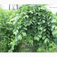 Вяз шершавый плакучий Ulmus glabra для озеленения