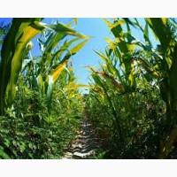АРГО ДН ФАО 250 семена кукурузы
