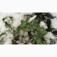 НС Мороз 2 репродукцыя горох