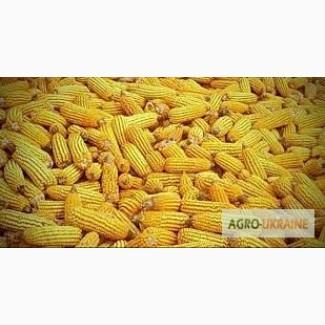 Посевной материал Кукуруза Монблан Оргинатор Семанс Франция Урожайность до 140 ц