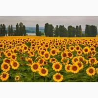 Насіння соняшника: Аракар, Жалон