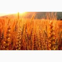 Куплю жито рожь ДОРОГО