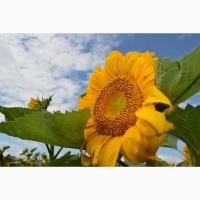 Продамо насіння соняшнику (Барса, Толедо, Гранд) під 50 грам гран стару
