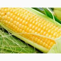 Насіння кукурудзи ДКС 3507 (DKC 3507) ФАО 270 від Монсанто ціна за мішок