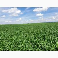Продам насіння озимої пшениці Патрас, Емблем, Апостел, Артіст, Сільвестр