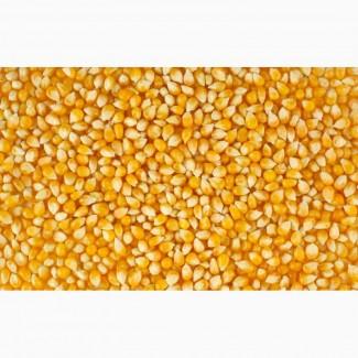 НК «ГРАН» пропонує насіння кукурудзи( Вакула, Яніс, Онікс)