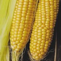 Семена кукурузы ДКС 3711 ФАО 280 (DKC 3711) от Монсанто цена за мешок
