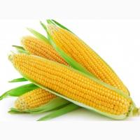 Насіння гібридів кукурудзи - Хотин, Оржиця