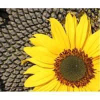 Семена высокоолеинового подсолнечника «Флорими», гибрид