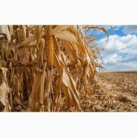 Семена кукурузы ДКС 3730 (DKC 3730) ФАО 280 Монсанто цена за мешок