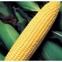 Семена кукурузы ДКС 3623 ФАО 290 цена за мешок