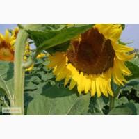 Соняшнику під гранстар Карат