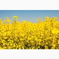 Ріпак озимий ГРІМ РС+ІМІ урожай 2020