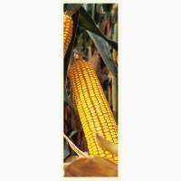 Насіння кукурудзи ДКС 3759 ФАО 290 ціна за мішок