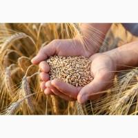 Продам пшеницю 1 класу