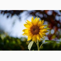 Олівер new, Кардинал, Дозор, Заграва – насіння соняшнику під класичну технологію
