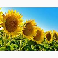 Оптова закупівля соняшнику ДСТУ