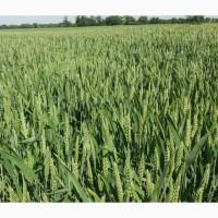 Продам насіння озимої пшениці сорту Лєннокс