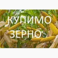Закуповуємо кукурудзу протравлену (червону)