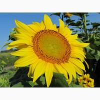 Насіння соняшнику під гранстар Карат