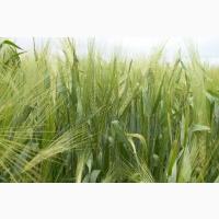Семена рожь жито