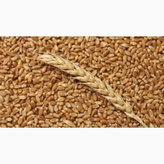 Куплю пшеницу фуражную за наличные