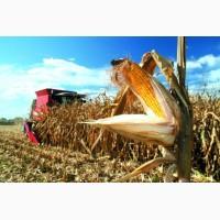 Купляємо кукурудзу суху, вологу відходи кукурудзяні