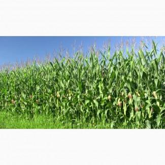 Куплю кукурузу за наличные