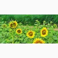 Насіннєва Компанія Гран пропонує насіння соняшнику