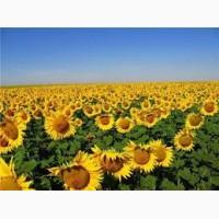 Продам семена подсолнечника не дорого