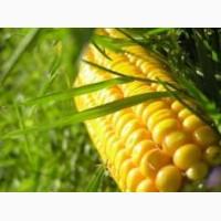 Насіння кукурудзи: Вакула, Онікс, Яніс (new)