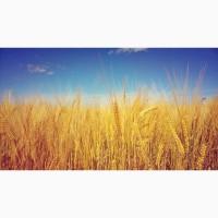 Покупаем пшеницу по Черниговской области