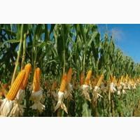 Куплю кукурузу, сою, овес, рожь, просо, пшеницу, ячмень по Луг. обл