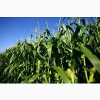 РАМ 3153 ФАО 250 семена кукурузы