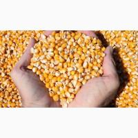 Покупаю кукурузу на выгодных условиях