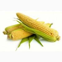 Насіння кукурудзи: Солонянський, Оржиця, Подільський, Білозірський