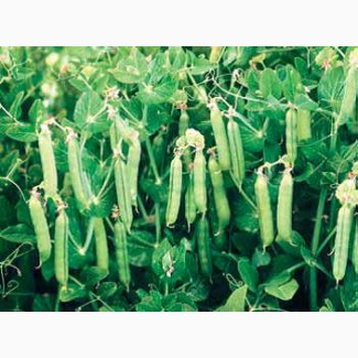 Семена гороха сорта Саламанка; Астронавт, 1 репродцкция