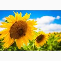 Продаємо насіння соняшнику Антей