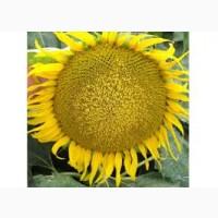 Закуповуємо у с / г виробників соняшник