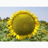 Посівний матеріал соняшнику гібриди ОСМАН і Альварез