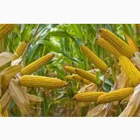 Кукуруза куплю