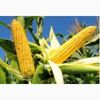 Семена кукурузы Гран 1 от компании «ВНИС»